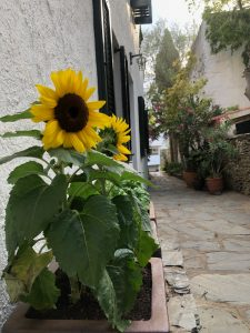 Image shows two sunflowers that I planted in a pot